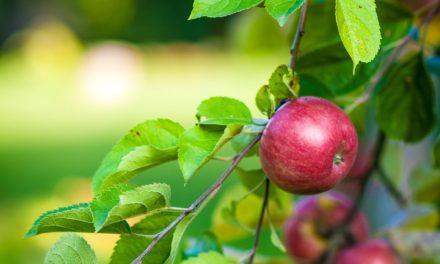 Lav mad med æbler fra dit æbletræ
