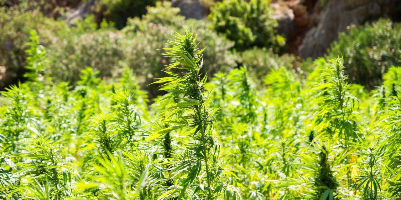 Derfor fungerer CBD-olie som medicinsk cannabis